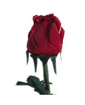 Rose goth 37002